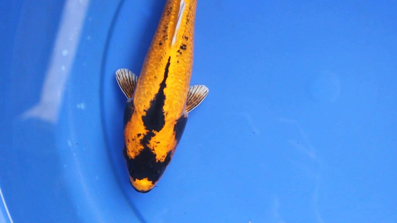 Banana Koi Fish Indonesian Kin Kabuto Domask Unique And Rare Youtube