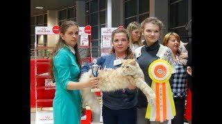 Презентация породы мейн кун, выставка кошек в Тольятти