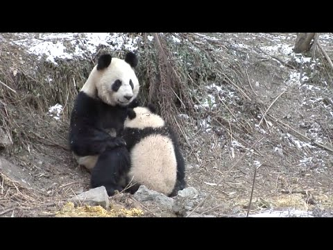 Cute Giant Panda Cubs Undergo Wild Training in Southwest China