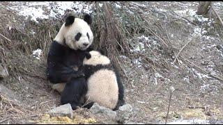 Cute Giant Panda Cubs Undergo Wild Training in Southwest China