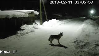 Собака убегает от волка
