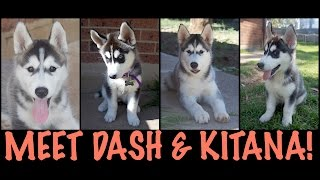 Meet Dash & Kitana! - The Cutest Siberian Husky Puppies!