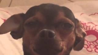 Собаку ругают
