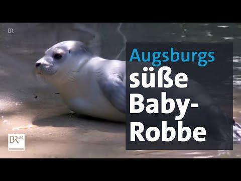 süßer-robben-nachwuchs:-seehund-baby-im-augsburger-zoo