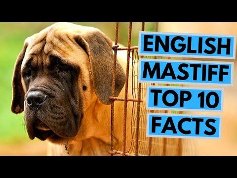 English Mastiff - TOP 10 Interesting Facts