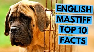 English Mastiff  TOP 10 Interesting Facts