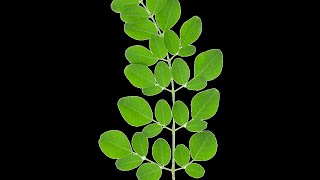 Gout Treatment: Fresh, Tree Leaves