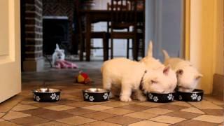 Westie Puppies 7 Weeks Old -eating
