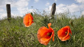 The poem that inspired widespread use of the poppy as a symbol of remembrance is almost 100 years old. But members of the regiment in which 'In Flanders Fields' poet Lt.-Col. John McCrae served say the poem still rings true today.