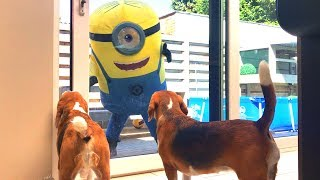 GIANT MINION STUART Vs DOGS! Louie The Beagle