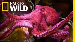 Download Video Octopuses 101 | Nat Geo Wild MP3 3GP MP4
