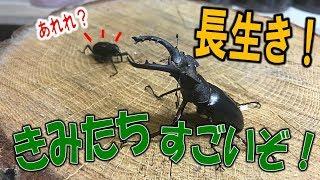 クワガタ&カブトムシ☆昆虫採集 長生き?今年採集したカブクワたちは今...