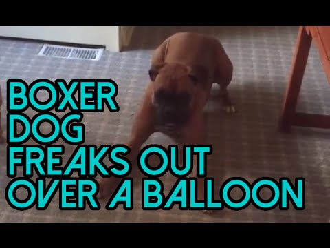 Boxer dog freaks out over a balloon