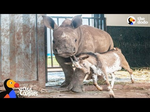 Baby Rhino Grows Up With Goat Best Friend | The Dodo Odd Couples