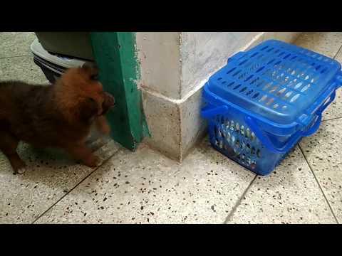 German Shepherd like puppy @ Pet Doctor in Bangladesh @ Dr. Sagir's Pet Clinic 01912251312