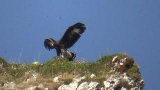 Aguila Real enseña a volar a su hija