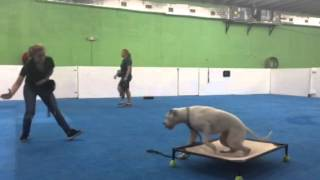Young, Deaf American Bulldog Learns Hand Signals-needs His Forever Home, Miami Dog Training Program