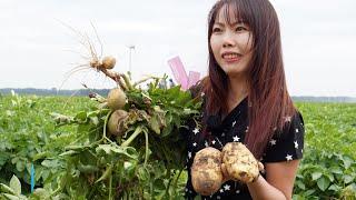 Xem nông dân Hà Lan trồng nhiều loại Khoai Tây quá tuyệt vời !! Sarah Nguyen cuộc sống Hà Lan