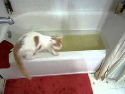 Turkish Van Kitten Zeki Water is Fascinating!  2010