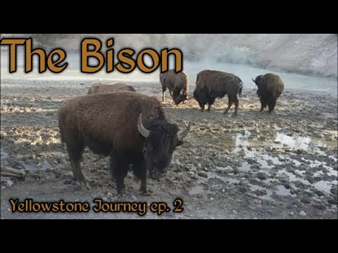 WE WERE 5 FEET AWAY FROM 9 BISON! Yellowstone Journey ep. 2