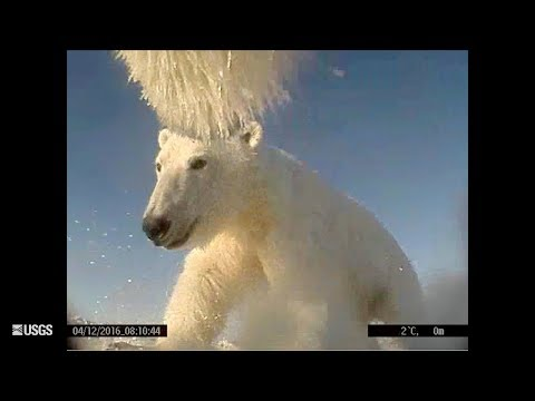 Polar Bears Film Their Own Sea Ice World