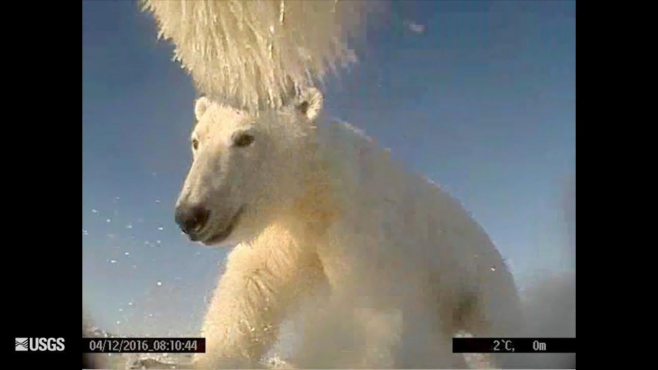 Polar Bears Film Their Own Sea Ice World