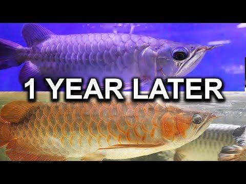 POSSIBLE AQUARIUM FISH OPERATION NEEDED