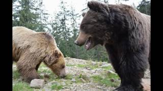 Охота на медведя в Карпатах(It hunts in Carpathians on a bear.......It hunts in Carpathians on a bear....It hunts in Carpathians on a bear... 363152., 2016-07-13T22:37:18.000Z)
