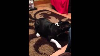Staffordshire Bull Terrier Puppy Talking