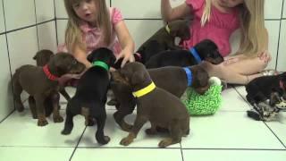 Cute Baby Doberman Puppies