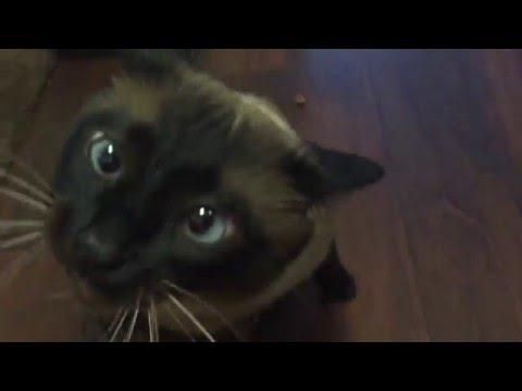 Сиамский котэ мило взбесился.