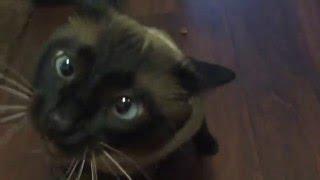 Сиамский котэ мило взбесился =^..^= СИАМСКИЕ КОШКИ