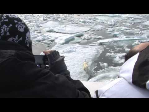 Polar Bear Inspects Our Expedition Ship