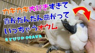 【えとぴりかOSAKA】カキカキされると首が??【ルリメタイハクオウム・Bleu-eyed Cockatoo】