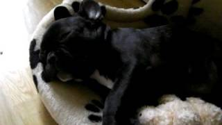 Maddie the French Bulldog snoring