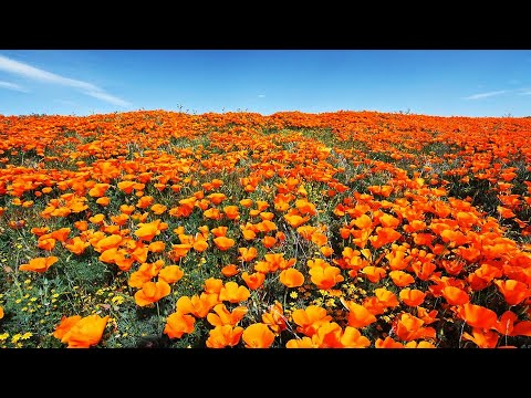 California Spring Flowers In 4K UHD - Ambient/Drone Film +  Healing Music | Southern California 2019