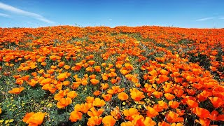 California Spring Flowers In 4K UHD - AmbientDrone Film Healing Music Southern Californ ...