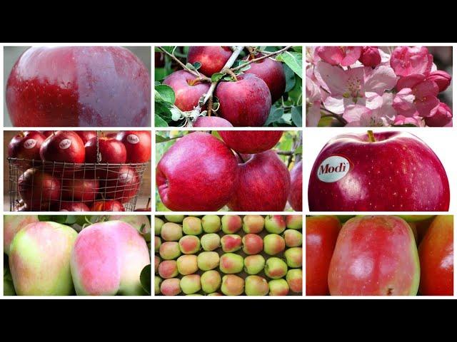 Новые сорта яблонь в коллекции «Осень – 2021»