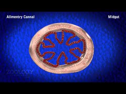 Prawn digestive system youtube prawn digestive system ccuart Images