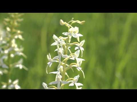Любка двулистная (орхидея) Platanthera bifolia
