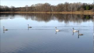 Honky Talk Woman 2 - Trumpeter Swans, Canada Geese, Wood Duck Drake - 04-04-2012