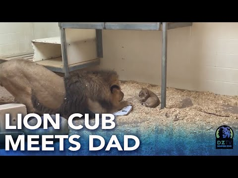 Denver Zoo lion