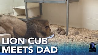 Denver Zoo lion cub meets dad for the first time