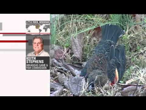 5,000 Dead Birds + 100,000 Dead Fish In Arkansas (01/01/2011 - USA)