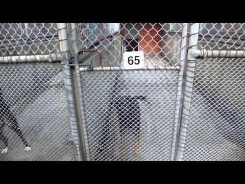 AMAZING Scrat the Kelpie high jumper dog at Spotswood quarantine.