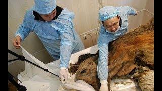 Нашли мумию! Эта мумия пролежала 39 000 лет в сибирской гробнице.Ученые не поверили свои глазам!