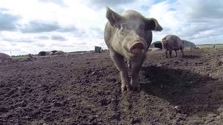 Farming in England 2014 - Strip Till, Cattle, Pigs & Auctions