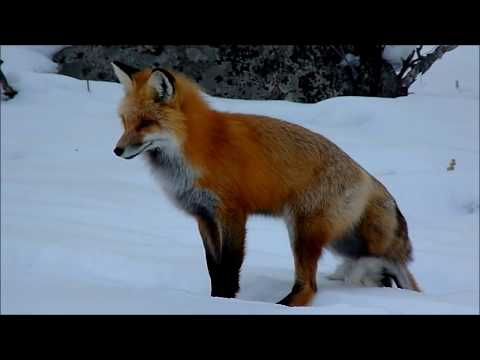Red Fox catching a vole in winter Yellowstone ネズミ狩り きつねイエローストーン