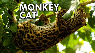 Margay: The Cat That Thinks It's a Monkey