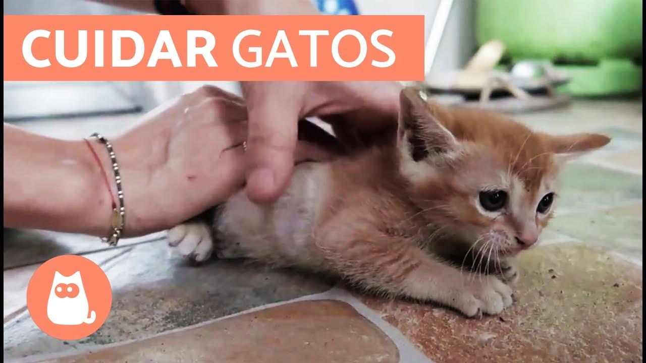 como cuidar un gato pequeno